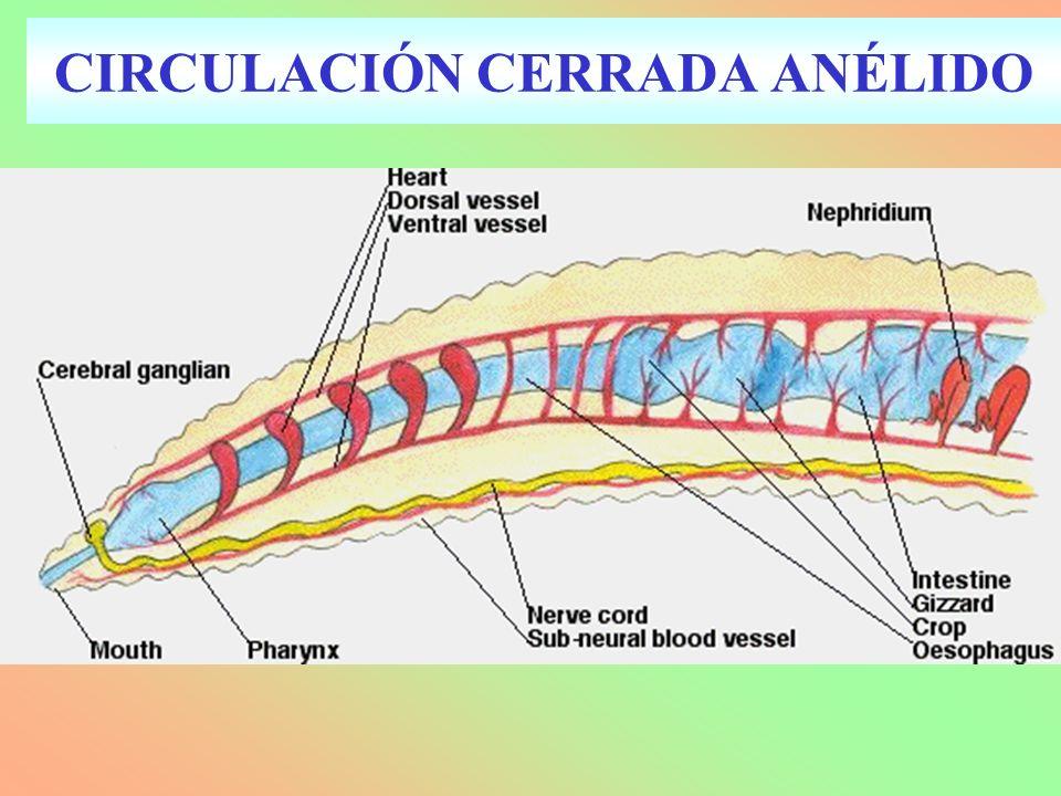 CIRCULACIÓN CERRADA ANÉLIDO