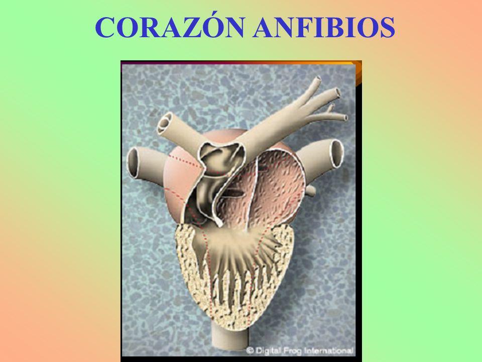 CORAZÓN ANFIBIOS