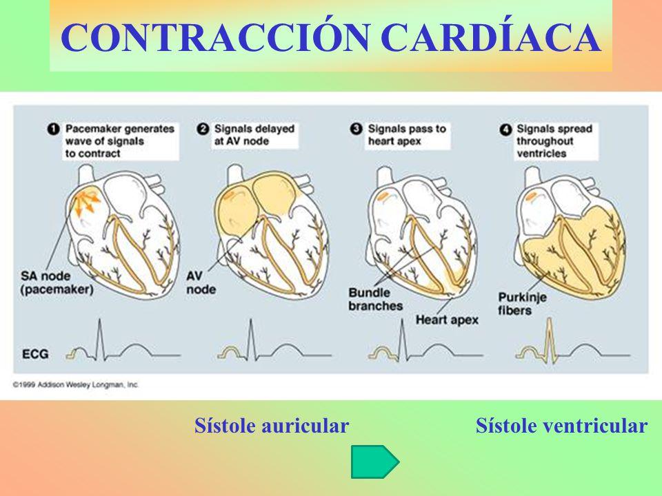 CONTRACCIÓN CARDÍACA Sístole auricular Sístole ventricular