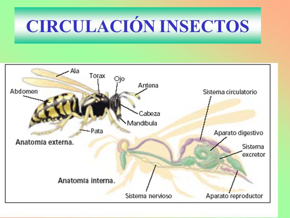 CIRCULACIÓN INSECTOS