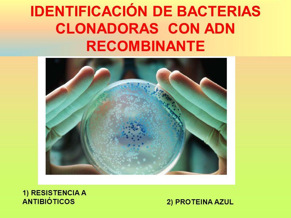 IDENTIFICACIÓN DE BACTERIAS CLONADORAS CON ADN RECOMBINANTE
