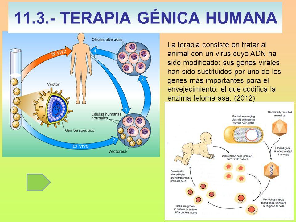 11.3.- TERAPIA GÉNICA HUMANA