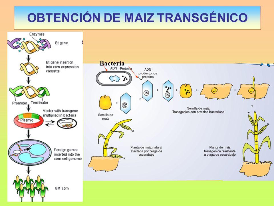 OBTENCIÓN DE MAIZ TRANSGÉNICO