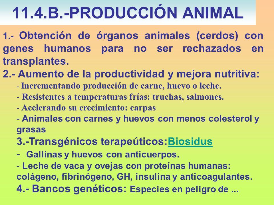11.4.B.-PRODUCCIÓN ANIMAL 1.- Obtención de órganos animales (cerdos) con genes humanos para no ser rechazados en transplantes.