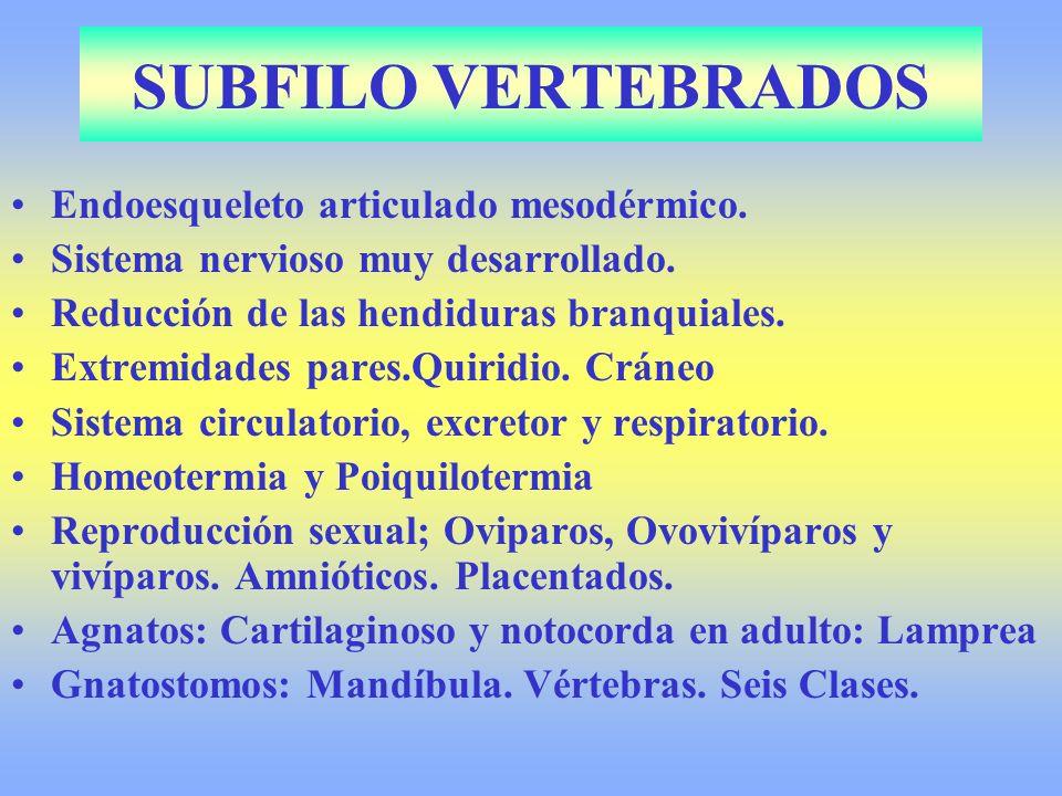 SUBFILO VERTEBRADOS Endoesqueleto articulado mesodérmico.