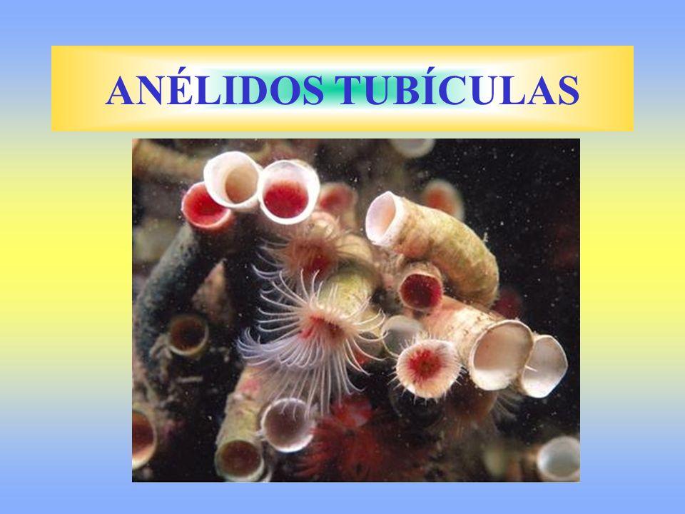 ANÉLIDOS TUBÍCULAS