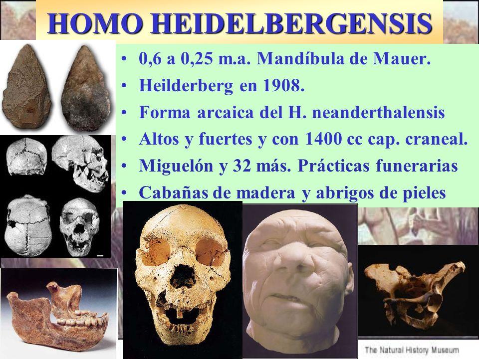 HOMO HEIDELBERGENSIS 0,6 a 0,25 m.a. Mandíbula de Mauer.