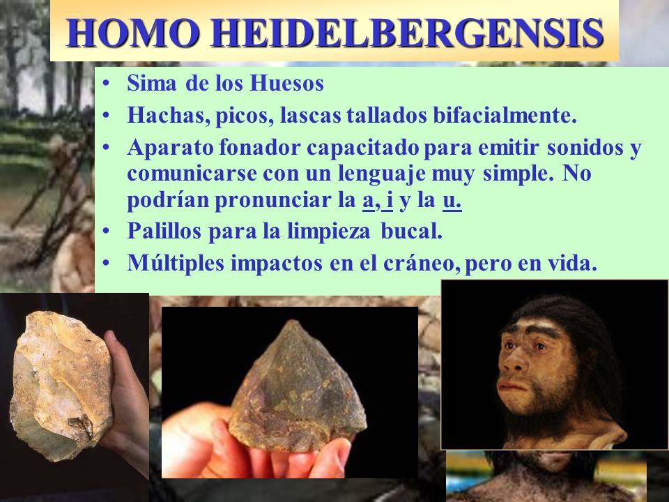 HOMO HEIDELBERGENSIS Sima de los Huesos