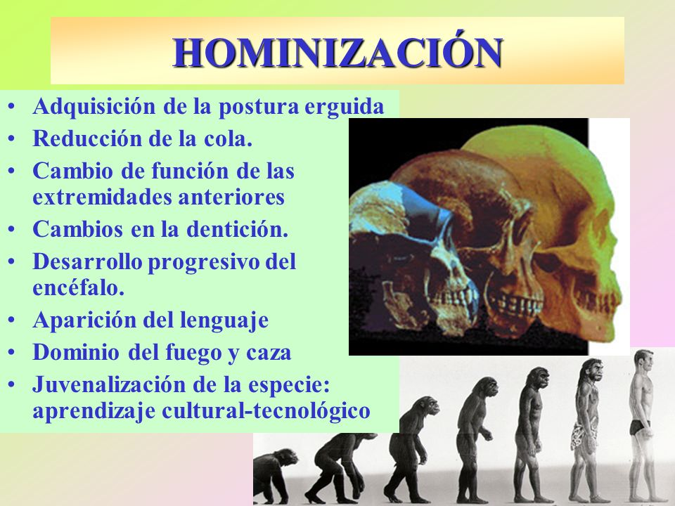 HOMINIZACIÓN Adquisición de la postura erguida Reducción de la cola.