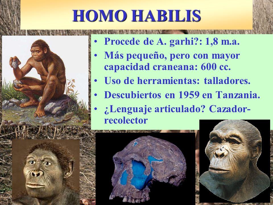 HOMO HABILIS Procede de A. garhi : 1,8 m.a.