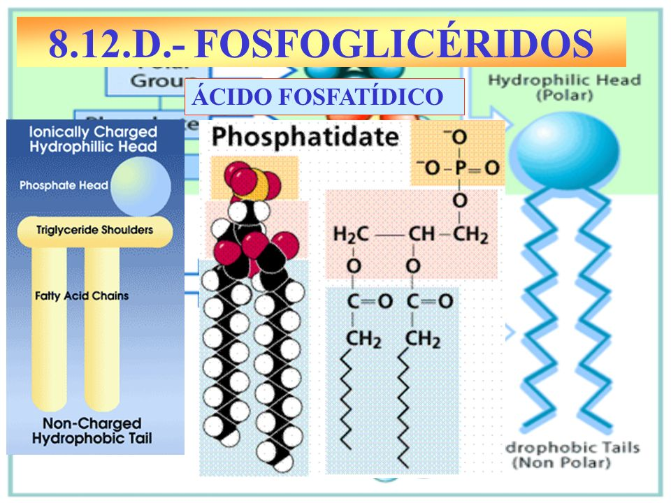 8.12.D.- FOSFOGLICÉRIDOS ÁCIDO FOSFATÍDICO
