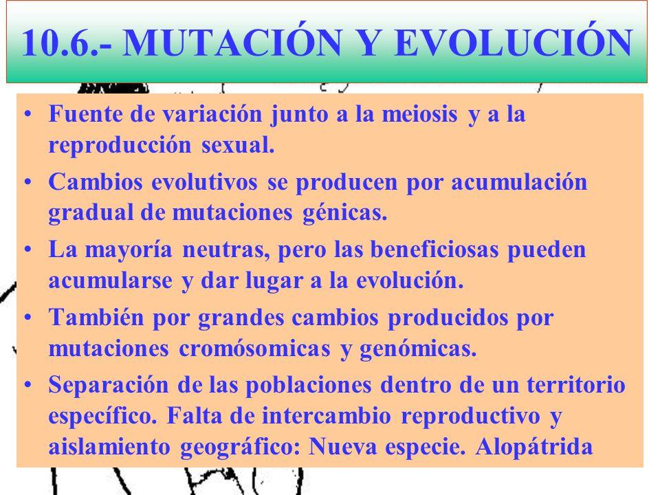10.6.- MUTACIÓN Y EVOLUCIÓN Fuente de variación junto a la meiosis y a la reproducción sexual.