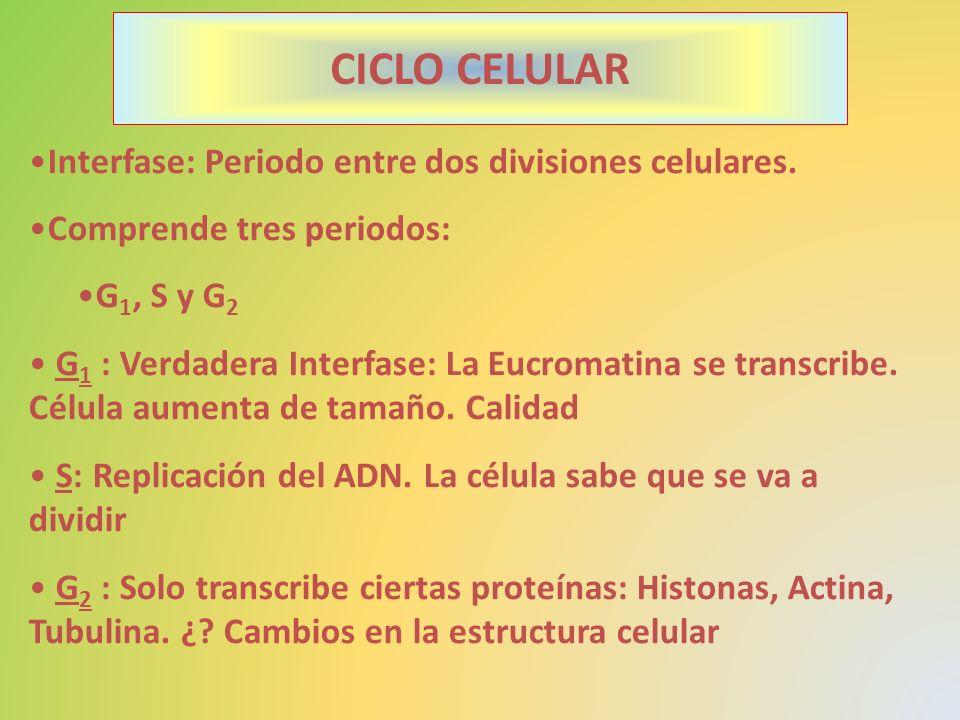 CICLO CELULAR Interfase: Periodo entre dos divisiones celulares.