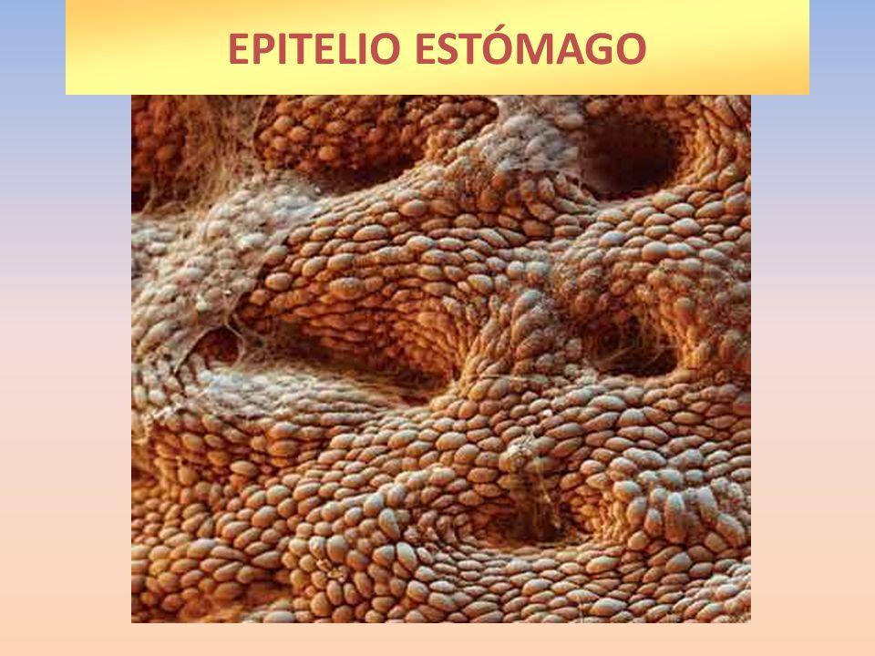 EPITELIO ESTÓMAGO