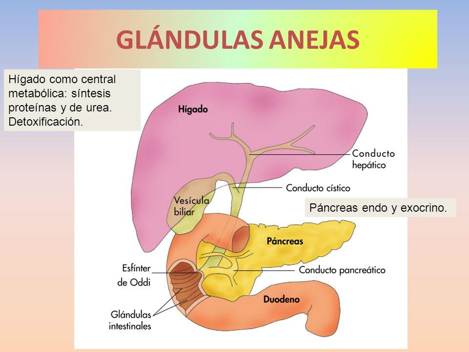 GLÁNDULAS ANEJASHígado como central metabólica: síntesis proteínas y de urea.