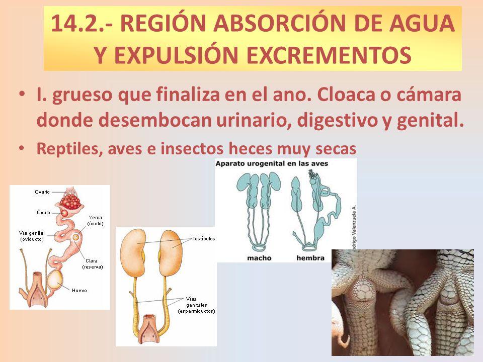14.2.- REGIÓN ABSORCIÓN DE AGUA Y EXPULSIÓN EXCREMENTOS