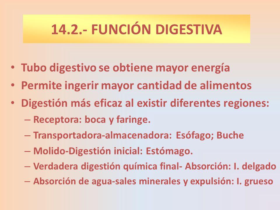 14.2.- FUNCIÓN DIGESTIVA Tubo digestivo se obtiene mayor energía