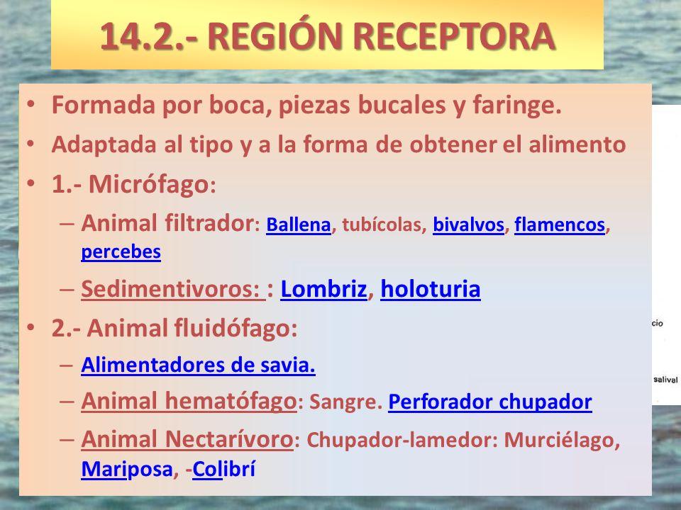 14.2.- REGIÓN RECEPTORA Formada por boca, piezas bucales y faringe.
