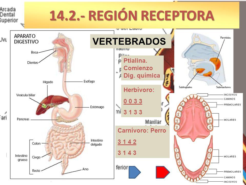 14.2.- REGIÓN RECEPTORA VERTEBRADOS Ptialina. Comienzo Dig. química