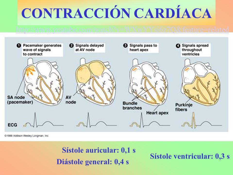 CONTRACCIÓN CARDÍACA http://www.youtube.com/watch v=WXwYYsi6z7Q&feature=related. Sístole auricular: 0,1 s.