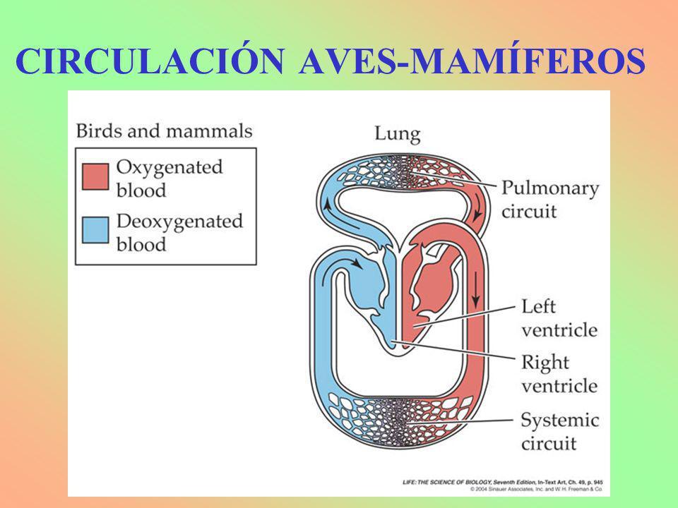 CIRCULACIÓN AVES-MAMÍFEROS