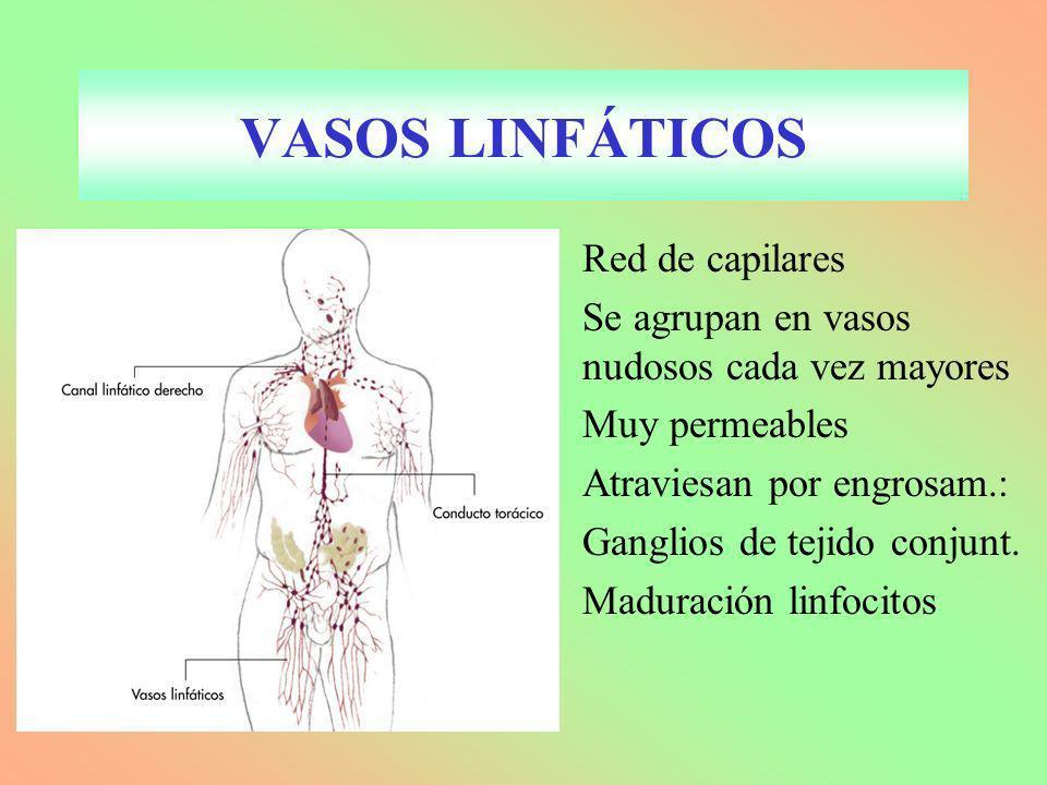 VASOS LINFÁTICOS Red de capilares