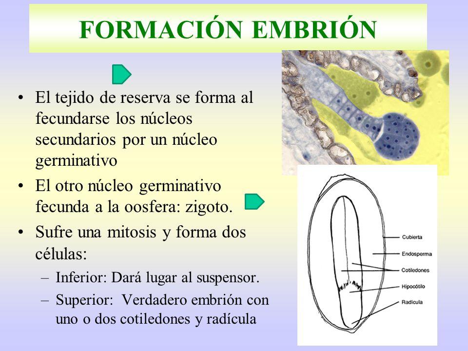FORMACIÓN EMBRIÓN El tejido de reserva se forma al fecundarse los núcleos secundarios por un núcleo germinativo.