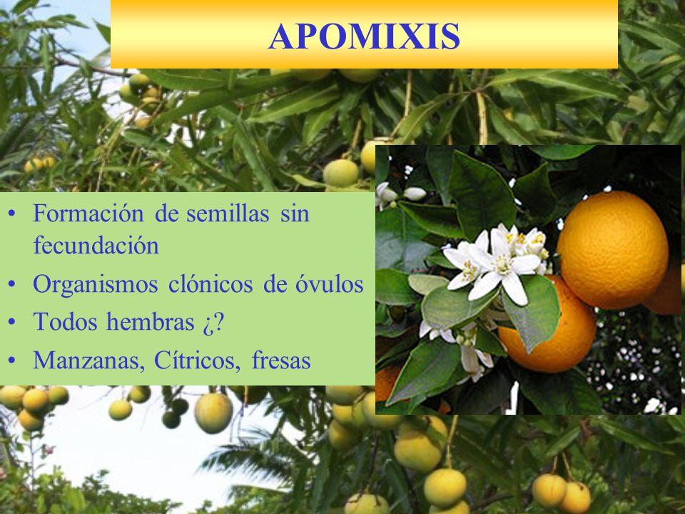 APOMIXIS Formación de semillas sin fecundación