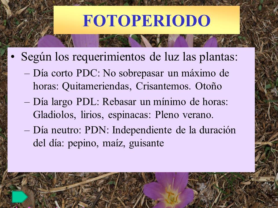 FOTOPERIODO Según los requerimientos de luz las plantas: