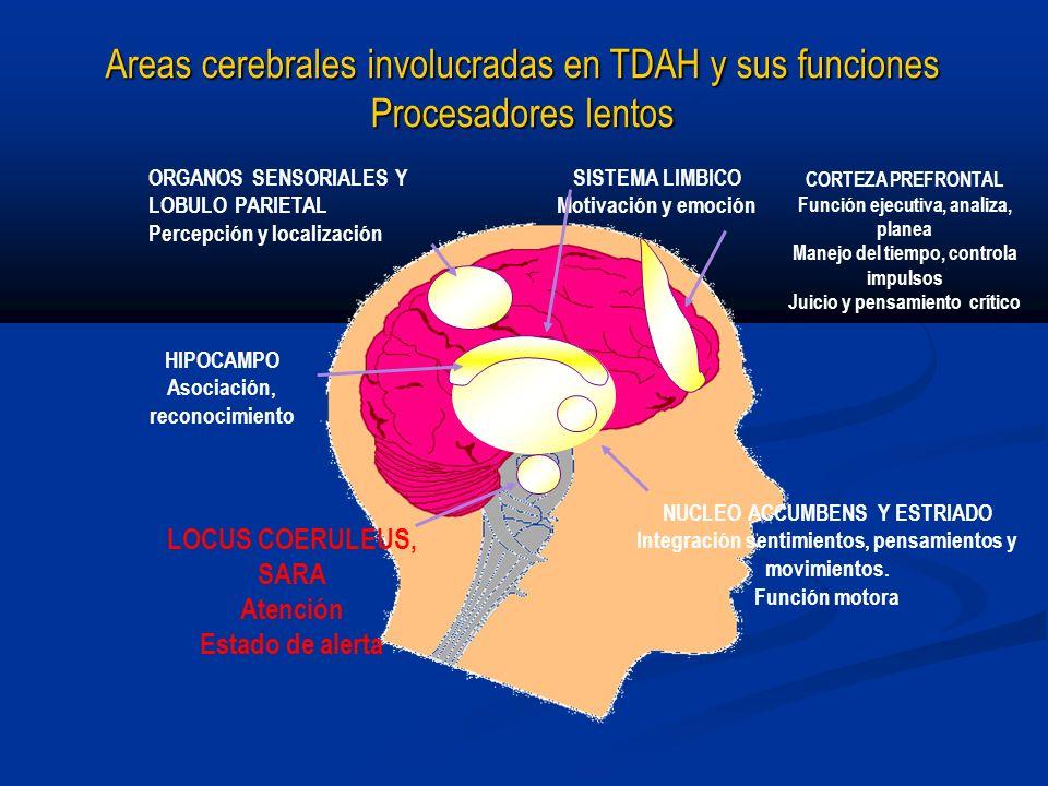 Areas cerebrales involucradas en TDAH y sus funciones Procesadores lentos