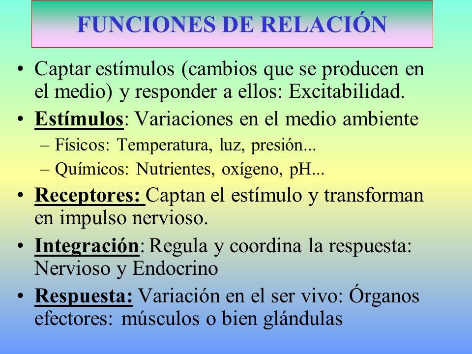 FUNCIONES DE RELACIÓN Captar estímulos (cambios que se producen en el medio) y responder a ellos: Excitabilidad.