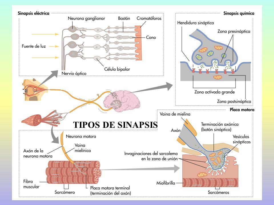 TIPOS DE SINAPSIS