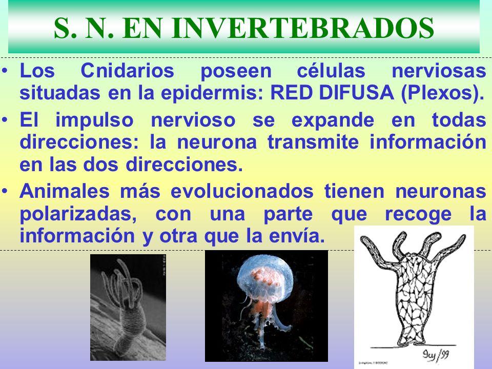 S. N. EN INVERTEBRADOS Los Cnidarios poseen células nerviosas situadas en la epidermis: RED DIFUSA (Plexos).