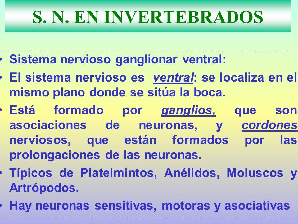S. N. EN INVERTEBRADOS Sistema nervioso ganglionar ventral: