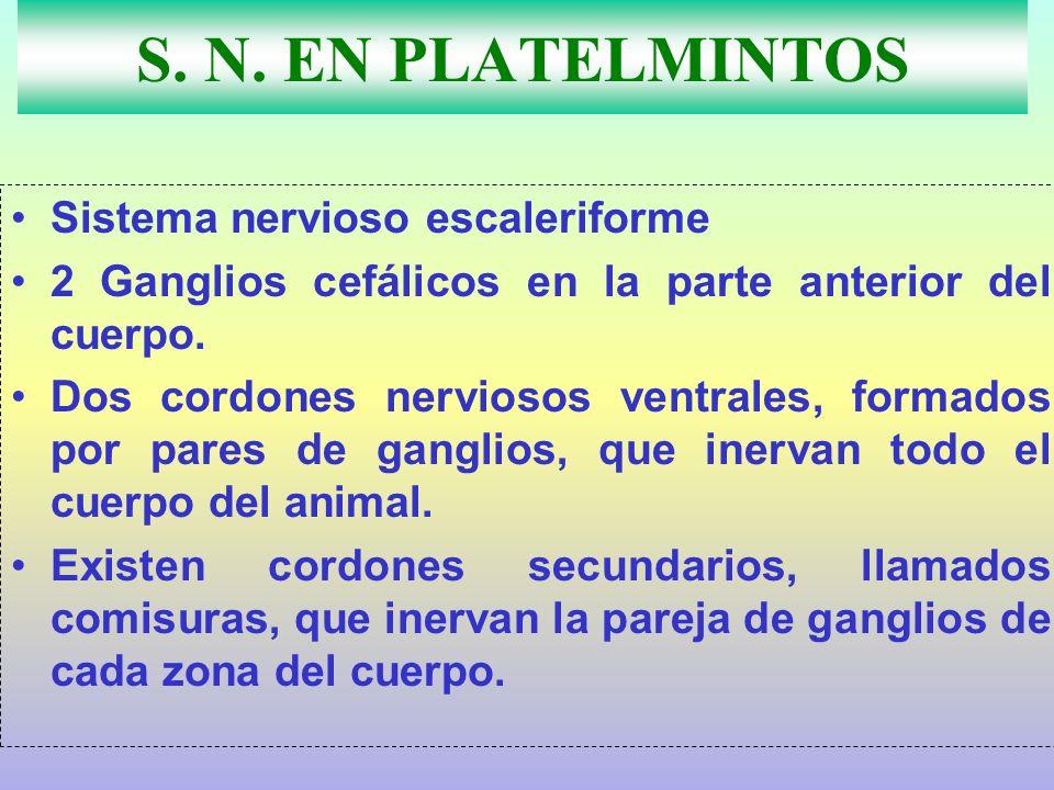 S. N. EN PLATELMINTOS Sistema nervioso escaleriforme