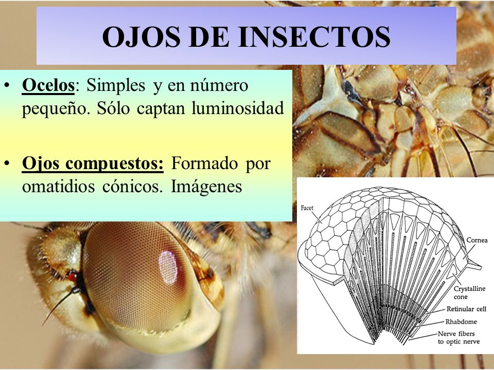 OJOS DE INSECTOS Ocelos: Simples y en número pequeño.