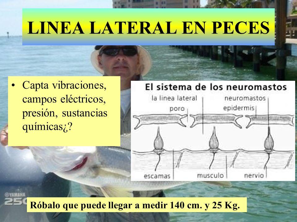 LINEA LATERAL EN PECES Capta vibraciones, campos eléctricos, presión, sustancias químicas¿.