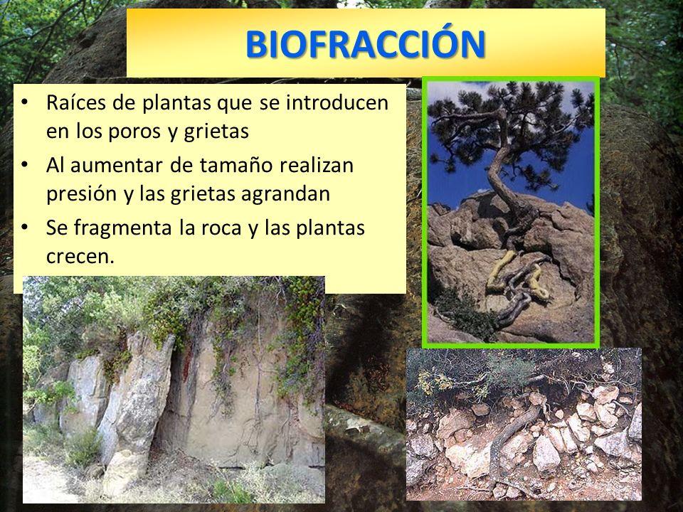 BIOFRACCIÓN Raíces de plantas que se introducen en los poros y grietas
