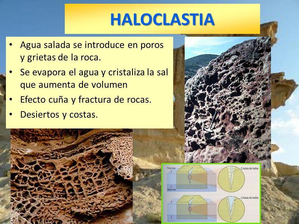 HALOCLASTIA Agua salada se introduce en poros y grietas de la roca.