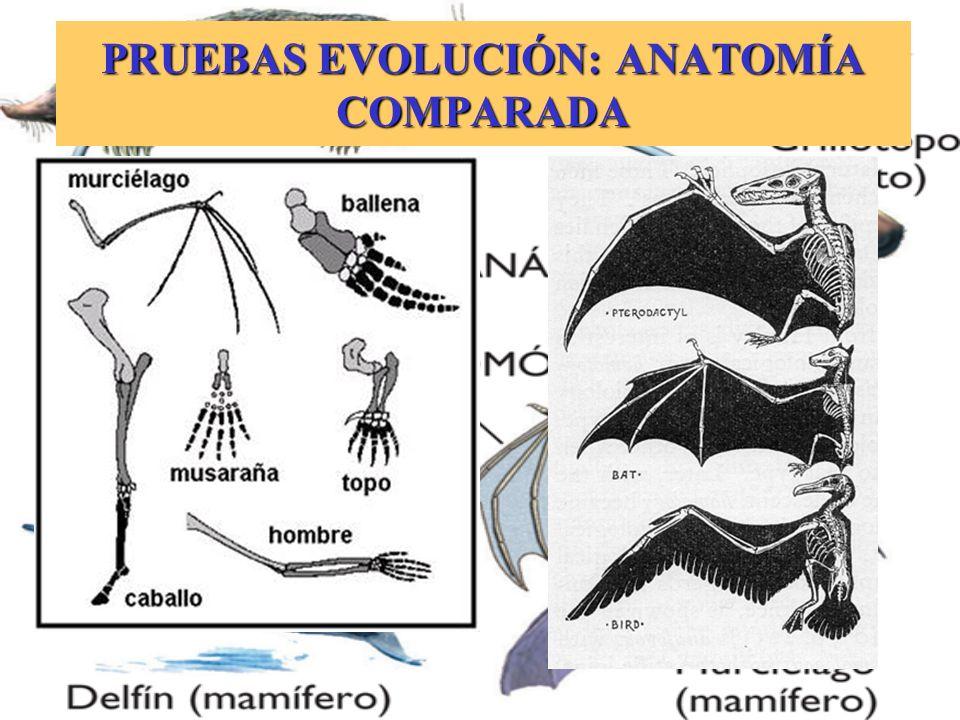 PRUEBAS EVOLUCIÓN: ANATOMÍA COMPARADA