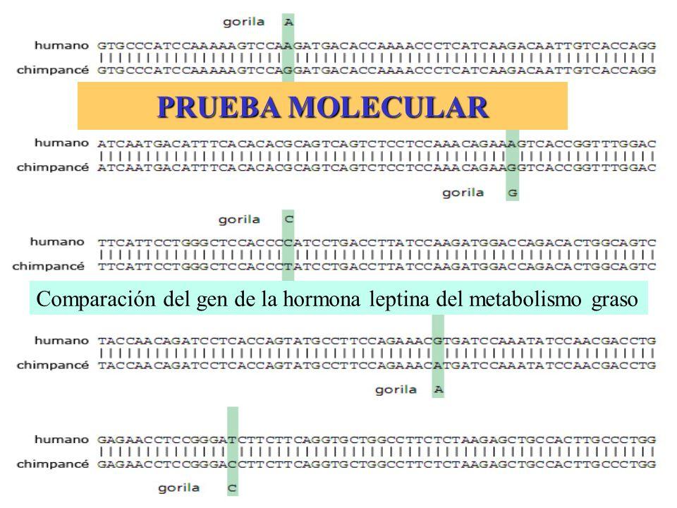 PRUEBA MOLECULAR Comparación del gen de la hormona leptina del metabolismo graso