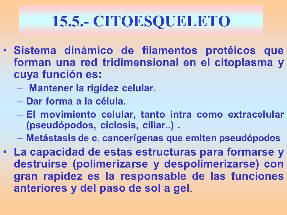 15.5.- CITOESQUELETOSistema dinámico de filamentos protéicos que forman una red tridimensional en el citoplasma y cuya función es: