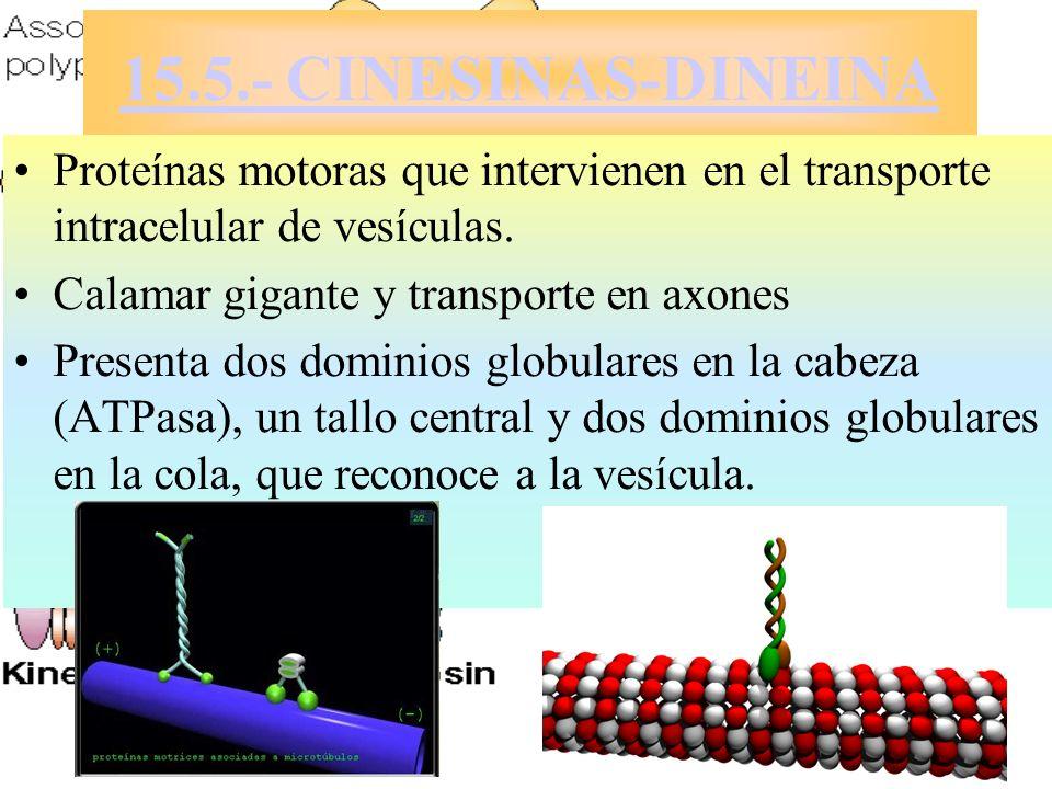 15.5.- CINESINAS-DINEINAProteínas motoras que intervienen en el transporte intracelular de vesículas.