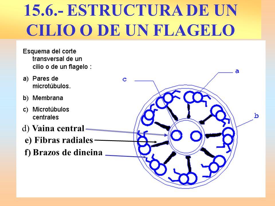 15.6.- ESTRUCTURA DE UN CILIO O DE UN FLAGELO