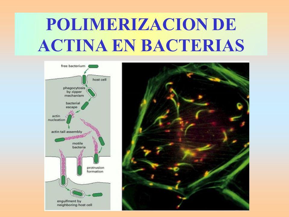 POLIMERIZACION DE ACTINA EN BACTERIAS
