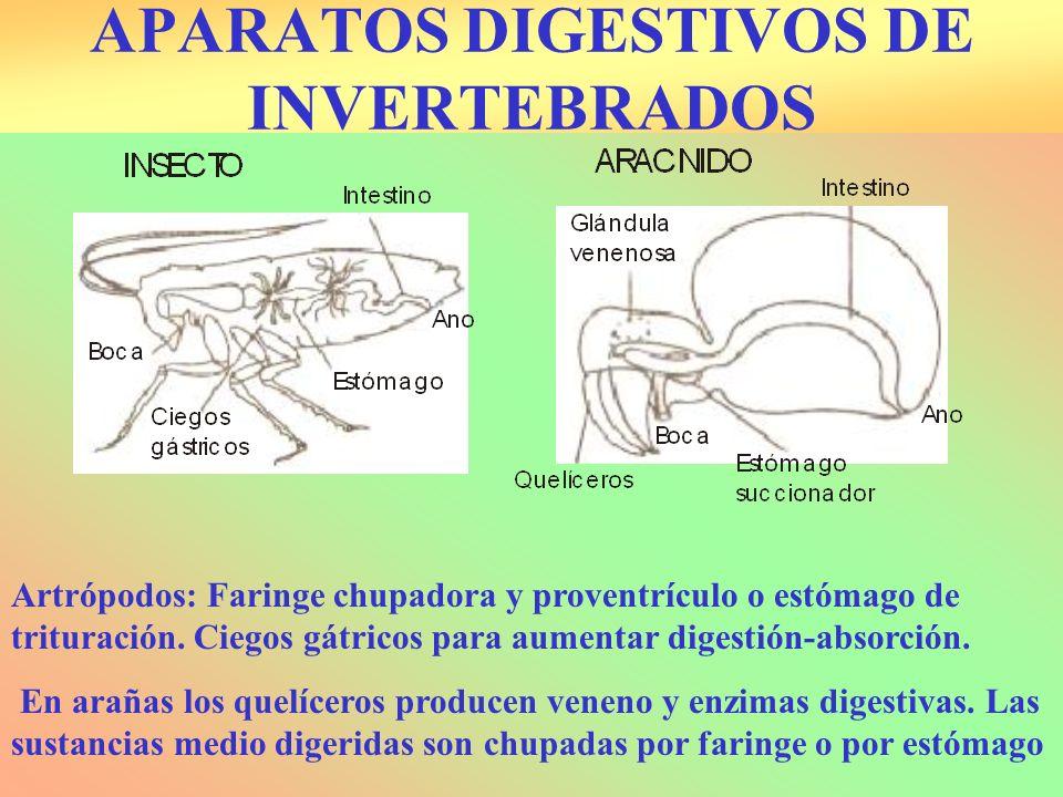 APARATOS DIGESTIVOS DE INVERTEBRADOS
