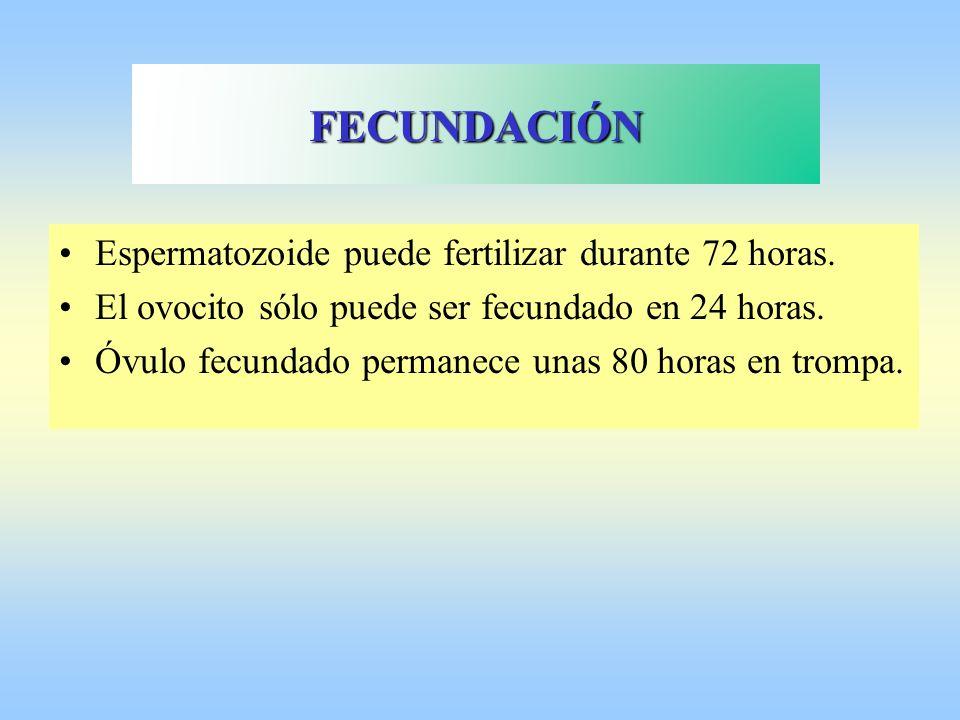 FECUNDACIÓN Espermatozoide puede fertilizar durante 72 horas.