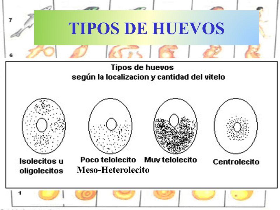 TIPOS DE HUEVOS Meso-Heterolecito Telolecitos Isolecitos