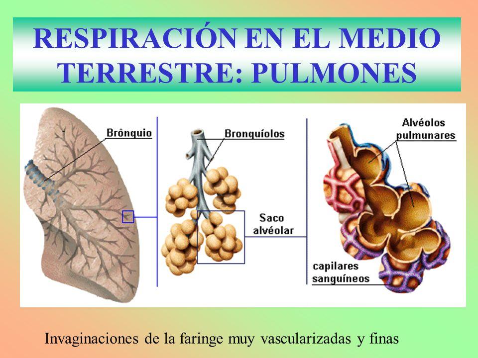 RESPIRACIÓN EN EL MEDIO TERRESTRE: PULMONES