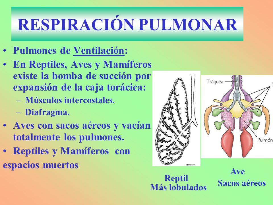RESPIRACIÓN PULMONAR Pulmones de Ventilación: